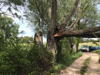 Chute d'un arbre malade